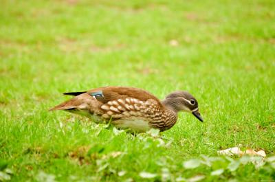 Download free animal duck grass green image
