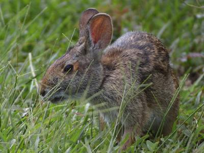 Download free animal grass rabbit image