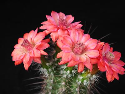 Download free flower pink cactus plant image