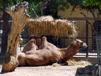 Download free animal camel image