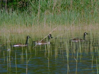 Download free animal lake water duck grass image