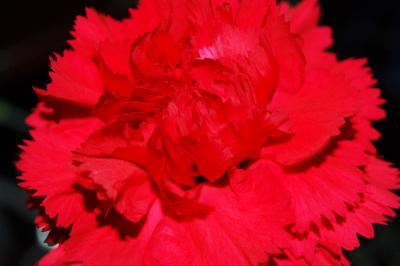 Download free flower red plant image