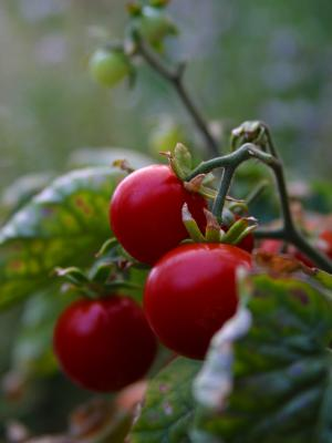 Download free leaf food plant cherry image