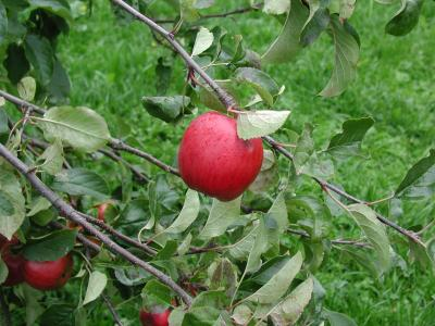Download free tree red grass green apple image