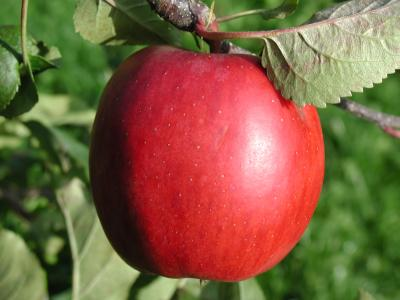 Download free tree red apple image