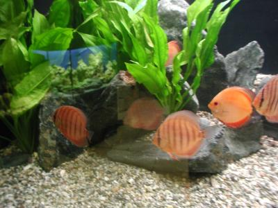 Download free animal fish stone aquarium alga image