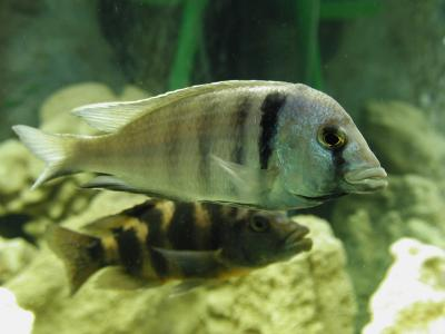 Download free animal fish grey stripe aquarium image