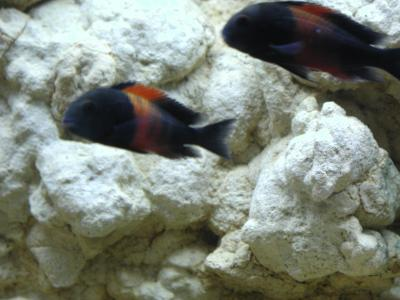 Download free animal fish stone aquarium black fuzzy image