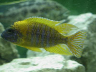 Download free animal fish yellow stone stripe aquarium image