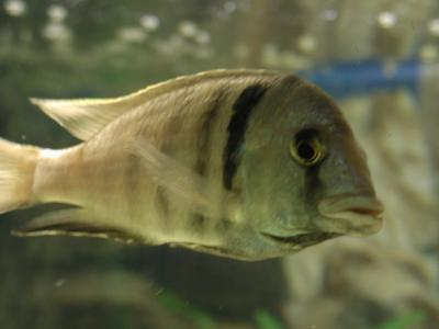 Download free animal fish grey image