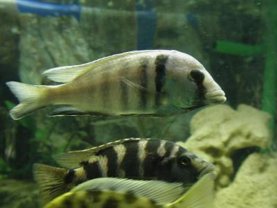 Download free animal animal fish grey stripe image