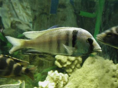 Download free animal fish grey stripe image