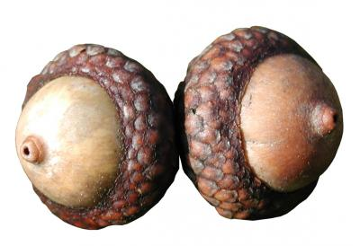 Download free acorn oak fruit image