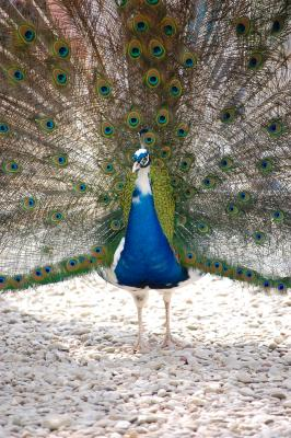 Download free animal bird peacock image
