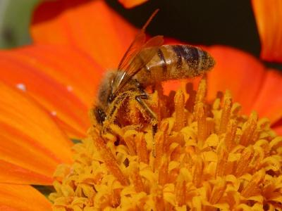 Download free insect animal bee flower orange image