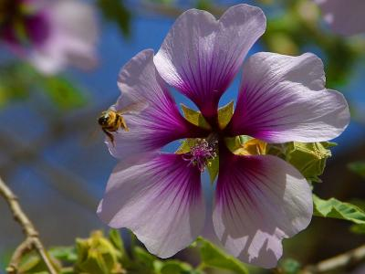 Download free insect animal bee flower purple image