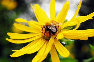 Download free insect animal bee flower yellow image
