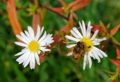 Download free insect animal bee flower image