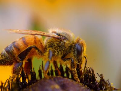 Download free insect animal bee image