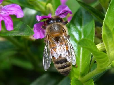 Download free insect leaf animal bee flower image