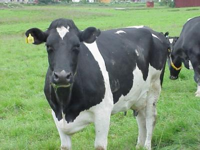 Download free animal cow image
