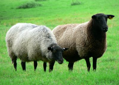 Download free animal grass sheep image