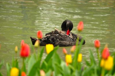 Download free animal flower swan image