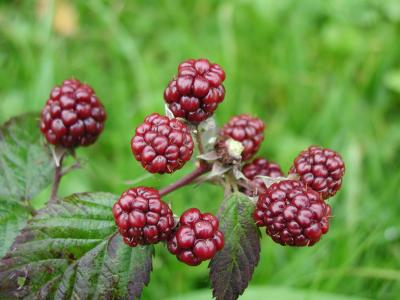 Download free leaf fruit plant blackberry image