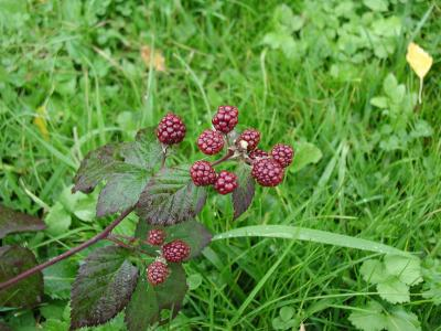 Download free fruit grass plant blackberry image