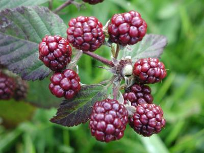 Download free fruit plant blackberry image