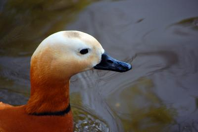 Download free animal duck image