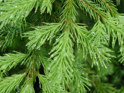Download free tree plant spine fir image