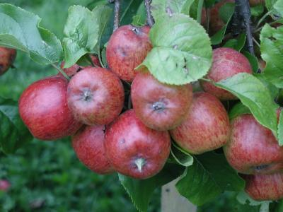Download free red fruit food apple image